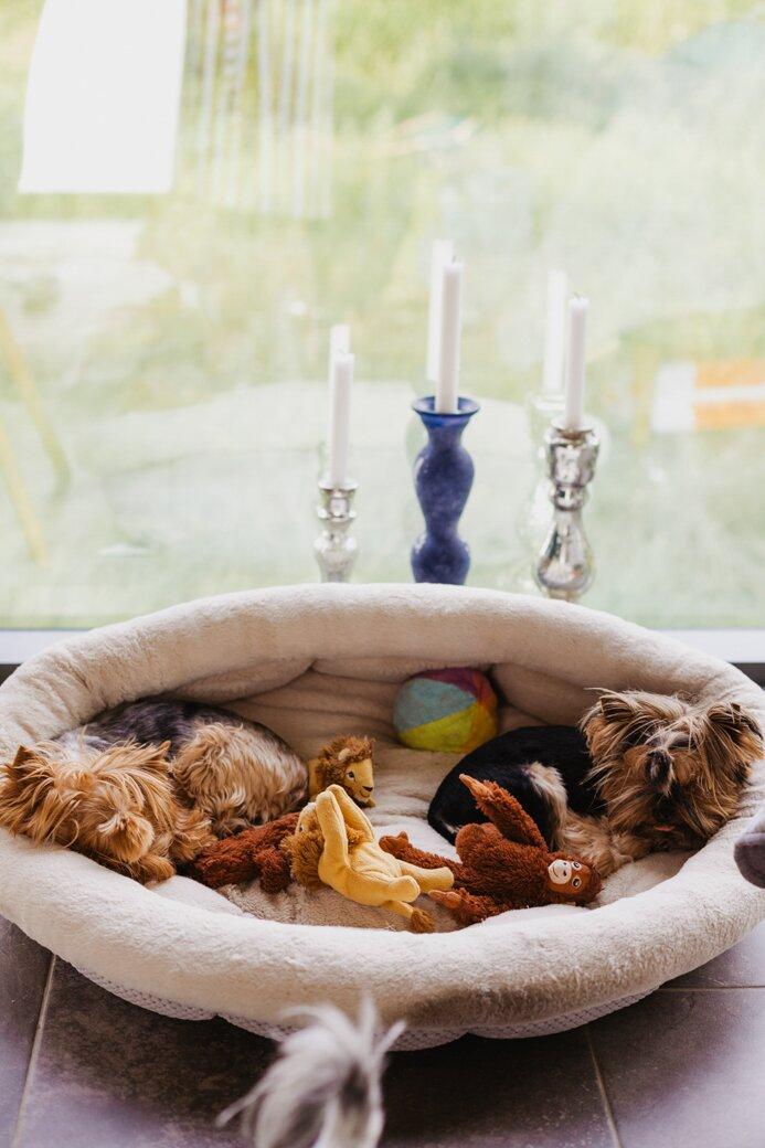 pieski, yorkshire terrier